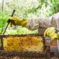 ミツバチの飼育