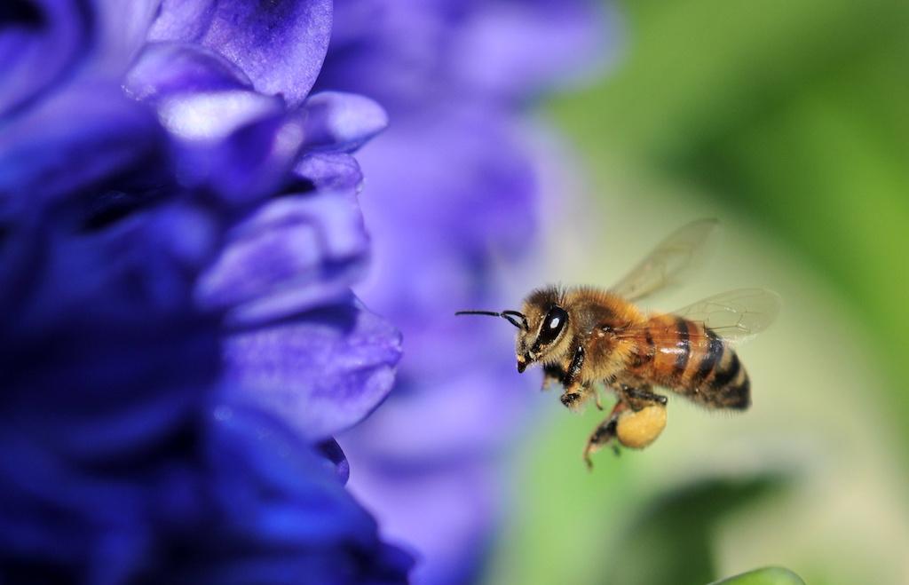 日本のミツバチ